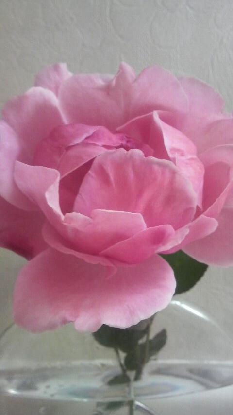 今年最後の薔薇